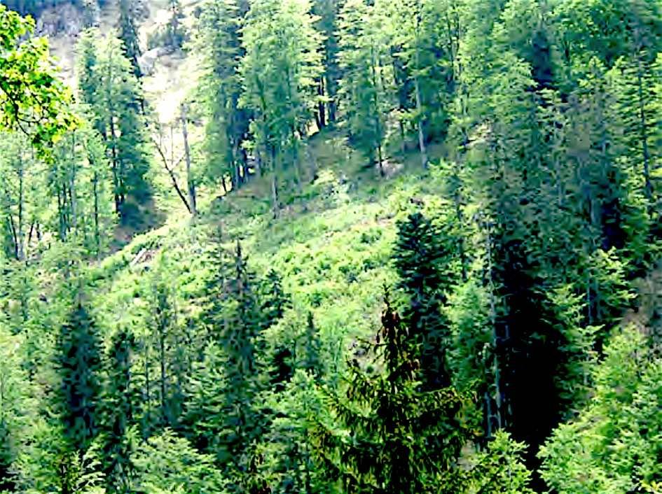 Bild zu Fläche 4: Diese Fläche hat sich nach der Räumung sehr rasch durch natürlichen Anflug verändert. Alle gewünschten Baumarten sind in ausreichender Anzahl vorhanden.