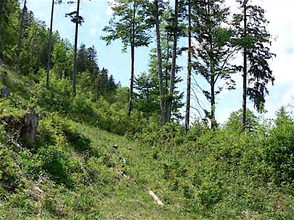 Grafik und Bild zu Fläche 1: Obwohl auf dieser Nutzungsfläche nur 3.500 Fichten gepflanzt wurden, haben sich zusätzlich die Mischbaumarten Buche, Ahorn, Tanne und Lärche zufriedenstellend entwickelt.