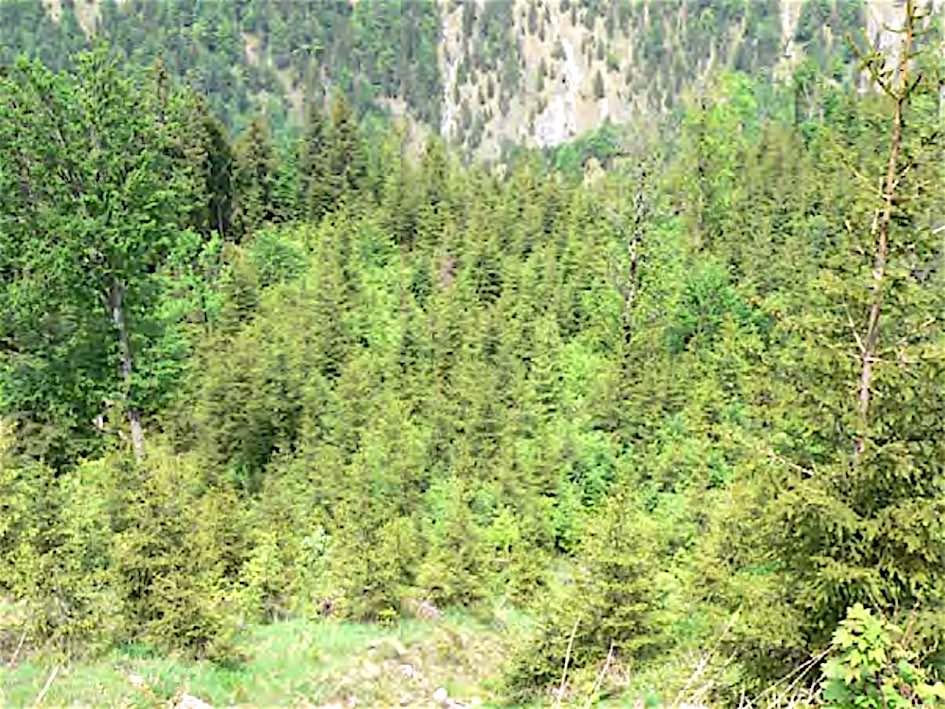 Bild zu Fläche 5: Dieser Trakt weist ebenfalls alle Mischbaumarten auf, die für die Forstwirtschaft wertvoll und im Endbestand genutzt werden.