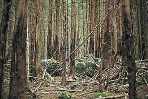 Schälschäden in Fichten-Stangenholz